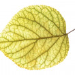 Leaf of the apricot — Stock Photo