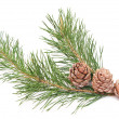 Siberian pine cones — Stock Photo