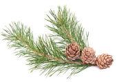 Siberian pine cones — Stock Photo