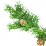 Siberian cedar(siberian pine) branch with ripe cone — Stock Photo