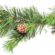 Siberian cedar(siberian pine) branch with ripe cone — Stock Photo #3596769