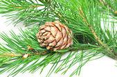 Siberian cedar — Stock Photo