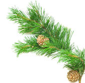 Siberian cedar(siberian pine) branch with ripe cone — Stock Photo