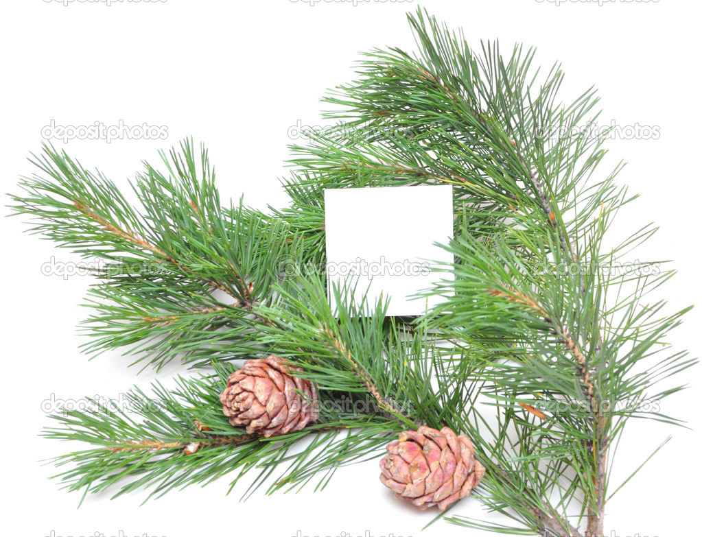 Branch of pine with cones isolated on the white. Empty place for the text. — Stock Photo #3596936