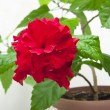 Decorative red rose — 图库照片