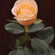 Yellow rose on a dark background — Stock Photo
