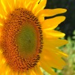 Beautiful yellow sunflower — Stockfoto