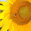 Beautiful yellow sunflower — Foto de Stock