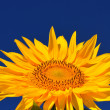 One bright colors sunflowers — Stock Photo