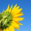 Sunflower — Stock Photo #3697158