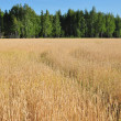Stock Photo: field of wheat