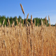 Stock Photo: Yellow grain ready for harvest