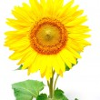 Sunflower against white background — Photo