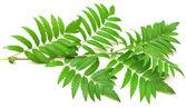 Green branches of mountain ash — Stock Photo