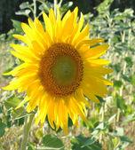 Magnifique tournesol jaune — Photo