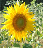 Krásné žluté slunečnice — Stock fotografie