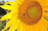 Hermoso amarillo girasol — Foto de Stock