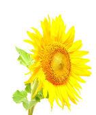 Sunflower against white background — Stock Photo
