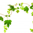 Hops plant twined vine — Stock Photo