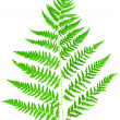 Stock Photo: Young green fern leaf