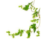 Rostlina chmel ovinutá révy — Stock fotografie