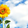 Yellow sunflower in sunny day — Stockfoto