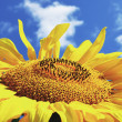 Yellow sunflower in sunny day — Stock Photo