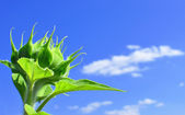 Green sunflower in sunny day — Stock Photo