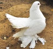 Beautiful white dove — Stock Photo