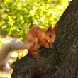 Squirrel , eating the nuts - Foto Stock