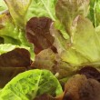 Lettuce close-up #1 — Stock Photo