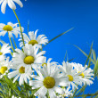 White Daisy Wheels — Stock Photo #3397492