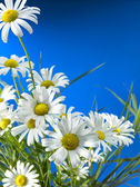 White Daisy Wheels — Stock Photo