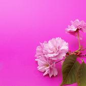 Vişne çiçeği — Stok fotoğraf