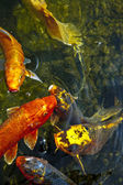 Koi fish in water, high angle view — Stock Photo
