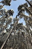 Leaning pine in forest — ストック写真