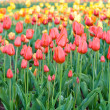 Many tulips on the field outdoor — Stock Photo
