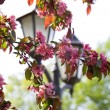 Lantern and cherry-tree in the park — Stock Photo