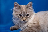 Kurilian bobtail — Stock Photo