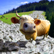 A cow is in a money - 