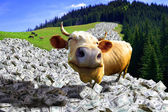 A cow is in a money — Foto Stock