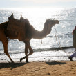 Camel - Stockfoto