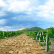 Vineyard landscape — Stock Photo #3416657