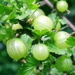 Gooseberry — Stock Photo #3434327