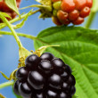 Blackberry — Stock Photo #3434953