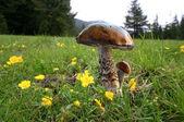 Mushrooms — Stock Photo