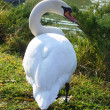 Swan - 