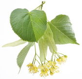 Flowers of linden — Stock Photo