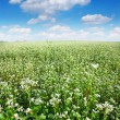 Field with buckwheat skyline — Stock Photo #3602438