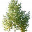 Birch tree - Stock Photo